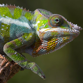 Panther chameleon by Angi Wallace - Animals Reptiles ( panther chameleon, lizard, pet, wildlife, reptile, chameleon )