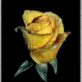 #011 by Anand Kumar - Nature Up Close Flowers - 2011-2013 ( rose, petals, beautiful, yellow, flower, droplets )