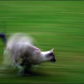 Cat Mechanics by Craig McNiven - Animals - Cats Playing ( playing, cat, grass, blur, motion, siamese, running,  )