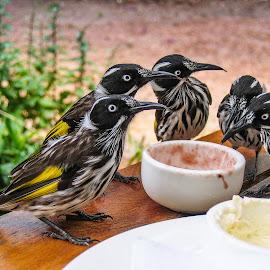 Leave some for me! by Simon Shee - Animals Birds ( bird, honeyeater, margaret river, australia, wildlife, new holland honeyeater, western australia,  )