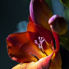 freesia by BO LED - Flowers Single Flower ( orange, macro, nature, flowers, closeup )