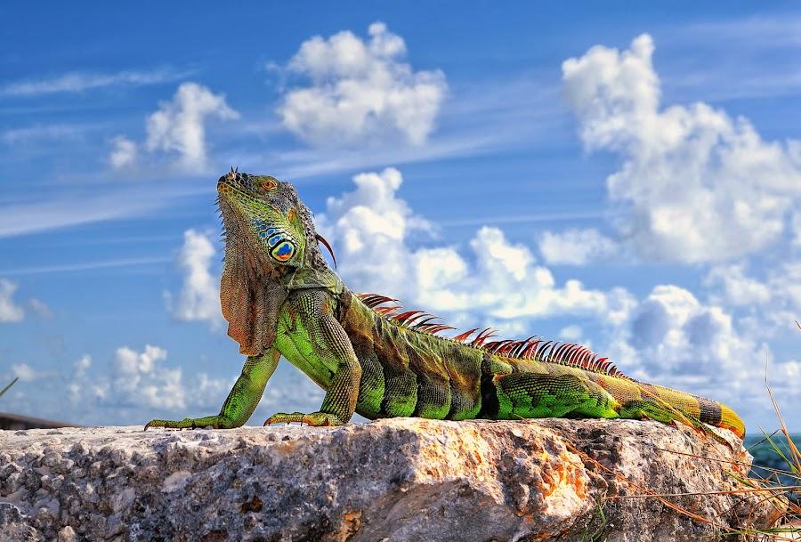 Dragon of Key West... by Roman Mordashev - Animals Reptiles ( roman mordashev photography, iguana, dragon, fantastic wildlife, key west, dragon of key west )