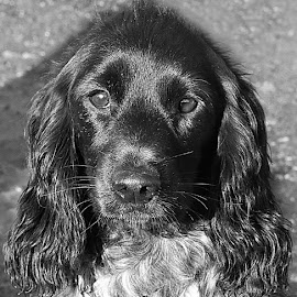 Shiny Girl by Chrissie Barrow - Black & White Animals ( monochrome, black and white, cocker spaniel, pet, fur, ears, dog, mono, nose, portrait, eyes, animal )