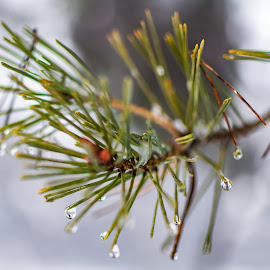 Waterdrop by Andrej Kozelj - Nature Up Close Natural Waterdrops ( water, waterdrop, drop, green, beautiful, waterdrops, winter, nature, tree, snow, drops, branch, nature up close, natural )
