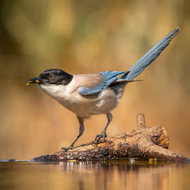 Azure by Rolando Reis - Animals Birds ( pond, nature, birding, water, branch, birdwatching, conservation, blue, bird, magpies, feeding, wild, wildlife )
