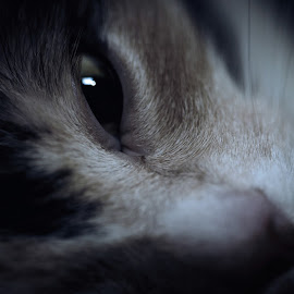 Cat by Michal Schwarz - Animals - Cats Portraits ( cats, animals, kitten, cat, pet, pets, nose, close up, kitty, eye, animal )