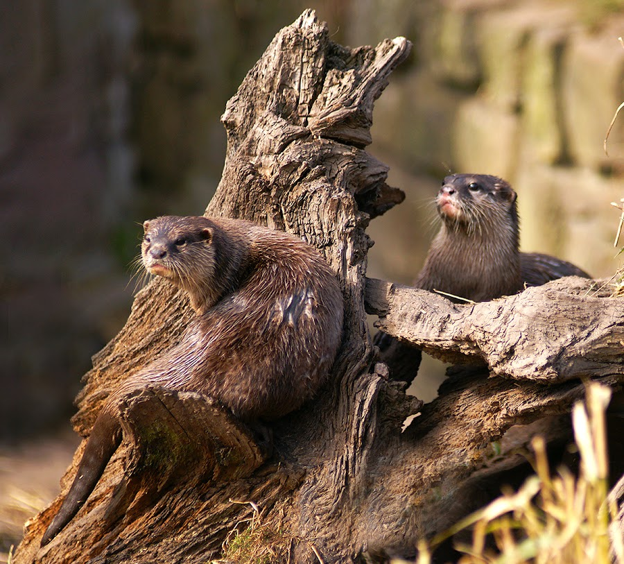 Otters by Bob Rawlinson - Animals Amphibians ( mm 11 4 13 )
