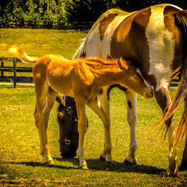 by Keith-Lisa Bell Bell - Animals Horses ( mom horse, fence )