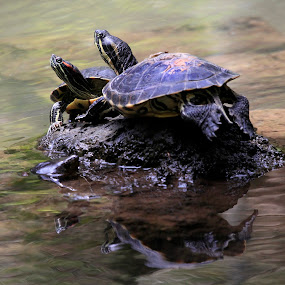 Turtles and reflection by Cristobal Garciaferro Rubio - Animals Reptiles ( water, reflection, turtles, turtle )