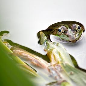 curious frog by Sabina Lombardo-Salmina - Animals Amphibians ( curious, frog )