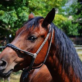 The look by Vladimir Bogovac - Animals Horses ( farm, rope, horse, head, eye )