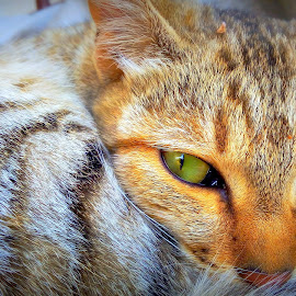 Cutie Caty pie staring  by Basavaraj Hiremath - Animals - Cats Portraits ( cat, mad, eyes )