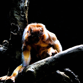 Solitude by Heather Rivera - Animals Other Mammals ( orange, red, zoo, ape, shadow, primate, light, black, monkey )