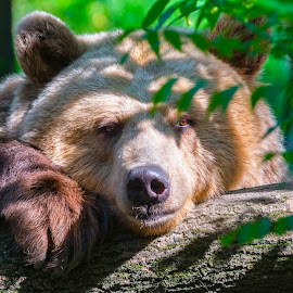 Lazy Bear by Lajos E - Animals Other Mammals ( calm, bear, europe, green, log, woods, portrait, arctos, resting, european, tree, ursus, brown, lazy, head )