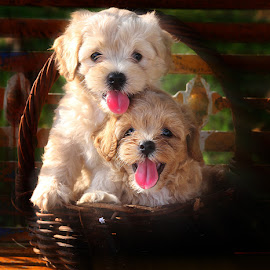 by Prachit Punyapor - Animals - Dogs Puppies