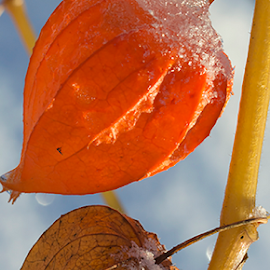 Physalis by Anitta Lieko - Nature Up Close Other plants