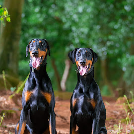 Dobermans by Jenny Trigg - Animals - Dogs Portraits ( woodland, dog, dobermans, doberman, portrait )