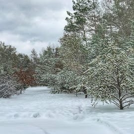 Getting ready to go for a walk by Patti Pappas - Landscapes Forests ( pines, michigan, winter, green, snow, white, trees, brown, pine )