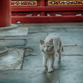 Temple Kitty by Francisco Little - Animals - Cats Playing ( feline, china, cat, temple, beijing, kitty )