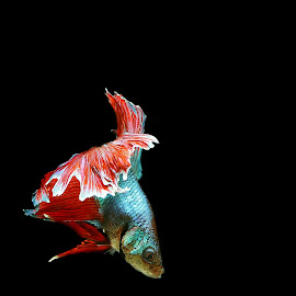 Bettafish by Djoko Widodo - Novices Only Macro