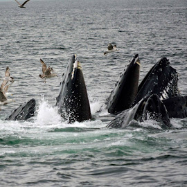 Pod of Whales Feeding by Lynda Briere San Souci - Animals Sea Creatures