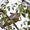 White winged Dove