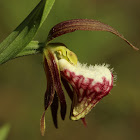 Ram's Head Lady's Slipper