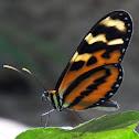 Menapis Tigerwing