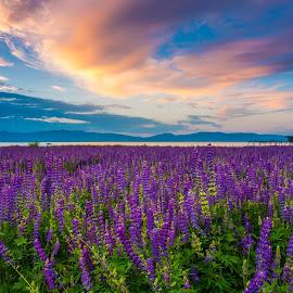 Standing in a Fairytale by Mike Lindberg - Landscapes Mountains & Hills ( wildflowers, alpine lake, sierra nevada, eastern sierra, california, morning, mountain lake, nevada, tahoe, lupine, sunrise, sierra, lake tahoe )