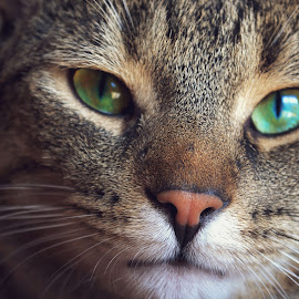 Who Knew by Mariah Lumley - Animals - Cats Portraits ( cat, green eyes, handsome )