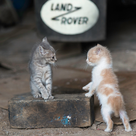 I need the 8mm wrench please by Annette Flottwell - Animals - Cats Kittens ( cats, kitten, cat, taller, land rover, chaton, chat, gatitos, working cats, gatos )
