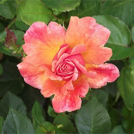 Rose by Amanda Snyder - Novices Only Flowers & Plants ( orange, green, leaves, spring, north carolina, reynolda gardens, rose, winston-salem nc, winston-salem, red, nc, pink, flower,  )