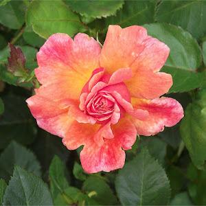004 Rose 1.jpg