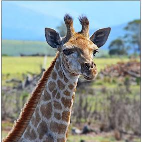 Young Giraffe by Glenn Visser - Animals Other Mammals ( wild, giraffe, africa, small, young )