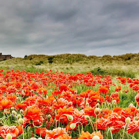 Poppies @ Bamburgh Castle by Paul Stevenson - Landscapes Prairies, Meadows & Fields ( field, northumberland, bamburgh, poppies, castle )