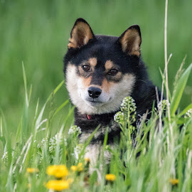 Dexter in Tall Grass by Chad Roberts - Animals - Dogs Portraits ( puppy, dexter, pup, shiba inu, dog )