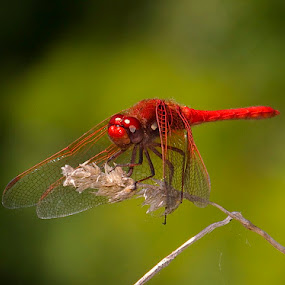 Portrait of a busy red dragonfly......( f 5.6 Telephoto) by D. Bruce Gammie - Animals Insects & Spiders ( flying, red, bug, insect, dragonfly )