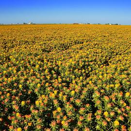 Some Kind of Thistle by Kathleen Koehlmoos - Landscapes Prairies, Meadows & Fields ( flower field, weird crop, thistle, fields of flowers, thistle field )