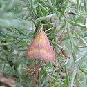Southern Purple Mint Moth