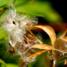 Seed puff. by Dawn Friend - Nature Up Close Other plants ( seed pod, close up, seeds, milkweed,  )