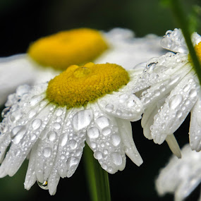 Misty Morning by Diane Ebert - Flowers Flower Gardens ( #candidsaremypassion, #mistingrain, #macro,  )