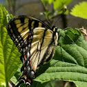 Eastern Tiger Swallowtail (f)