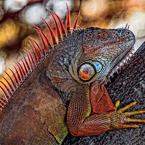 Iguana basking by Lisa Coletto - Animals Reptiles ( lizard, wild iguana, invasive species, iguana, reptile,  )