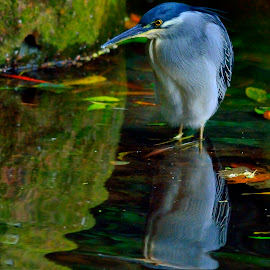 Striated heron in lake by Francois Wolfaardt - Uncategorized All Uncategorized ( water, bird, reflection, striated heron, nature,  )