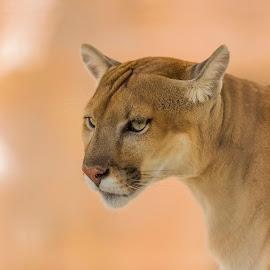 mountain lion by Gaurav Bagga - Animals Lions, Tigers & Big Cats ( big cat, predator, wild, lion, cat, wild life, nature, strong,  )