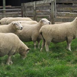 Rams by Russell Benington - Animals Other Mammals ( farm, animals, well fed, sheep, nz )