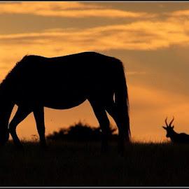 Sundown by Romano Volker - Animals Horses
