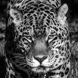 Ares by Garry Chisholm - Black & White Animals ( nature, mammal, big cat, jaguar, garry chisholm )