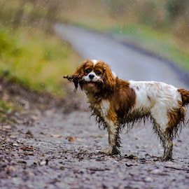 Cavalier King Charles Spaniel by Jenny Trigg - Animals - Dogs Portraits ( dog woods, dog photography, cavalier king charles spaniel, dog )