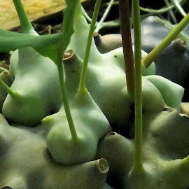 Bumps and Buds by Marty Cutler - Nature Up Close Other plants ( plant, nature, plants, nature up close, nature close up )